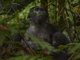 A Young Mountain Gorilla and Its Mother Are Alert to Human Visitors Photographic Print by Joel Sartore