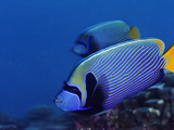 A Pair of Emperor Angelfish Shimmers in the Waters Off Kanton Island Photographic Print by Brian J. Skerry