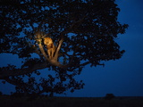 An African lion climbs a tree to sleep. Photographic Print by Joel Sartore