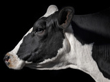 A Holstein Cow With a Piebald Coat at the Indiana State Fair Photographic Print by Vincent J. Musi