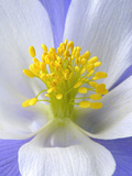 A Colorado Columbine Wildflower, Aquilegia Coerulea Photographic Print by Robbie George