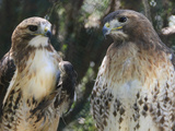 Portrait of a Pair of Red-Tailed Hawks, Buteo Jamaicensis Reproduction photographique par Amy & Al White & Petteway