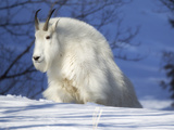 A Mountain Goat, Oreamnos Americanus, in a Snowy Landscape Photographic Print by Robbie George