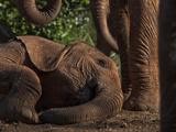 An Orphan Elephant Lies Down for a Post-Feeding Nap Photographic Print by Michael Nichols