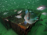 A Gray Triggerfish Hovers in Front of Old Chicken-Transport Pens Photographic Print by David Doubilet