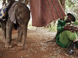 A Two-Week-Old Rescued Orphan Elephant With Her Keeper Photographic Print by Michael Nichols