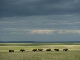 Wild American Bison Roam on a Ranch in South Dakota Fotografisk tryk af Joel Sartore