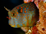 Steel Supports Provide Reef Habitat for a Tessellated Blenny Photographie par David Doubilet