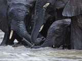 Older, Independent Elephants Crowd Around a Baby Orphan That Loves to Swim Photographic Print by Michael Nichols