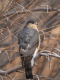 A Sharp Shinned Hawk, Accipiter Striatus, Perched in a Tree Papier Photo par Robbie George