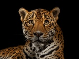 A Captive Jaguar Photographic Print by Vincent J. Musi