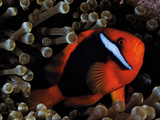 A Tomato Clownfish Floats Among Anemone Tentacles Colored By Algae Photographic Print by David Doubilet