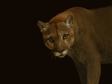 A Captive Puma Photographic Print by Vincent J. Musi
