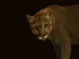 A Captive Puma Photographic Print by Vincent J. Musi