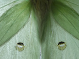 Close Up of the Wings of a Luna Moth, Actias Luna Photographic Print by Amy & Al White & Petteway