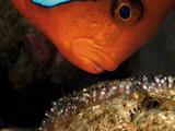 A Male Tomato Clownfish Tends to His Developing Eggs Fotografie-Druck von David Doubilet