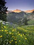 Wildflowers in an Alpine Meadow in Yankee Boy Basin Stampa fotografica di Robbie George