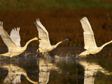 Three Tundra Swans, Cygnus Columbianus, Taking Flight from the Water Photographic Print by Jed Weingarten/National Geographic My Shot