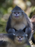 Two Juvenile Yunnan Snub-Nosed Monkeys Looking at the Camera Photographic Print by Jed Weingarten/National Geographic My Shot
