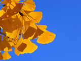 Golden-Hued Ginkgo Leaves Against a Blue Sky Photographic Print by Amy & Al White & Petteway