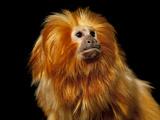 A Golden Lion Tamarin, Leontopithecus Rosalia Rosalia Photographic Print by Joel Sartore