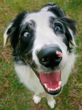 A Goofy, Deaf Australian Shepherd Dog Smiles at the Camera Photographic Print by Amy & Al White & Petteway