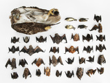 Bats, Songbirds and a Hawk Killed By a Single Wind Turbine in a Year Photographic Print by Joel Sartore