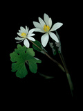 A Scan of a Bloodroot Plant, Sanguinaria Canadensis, in Bloom Photographic Print by Amy & Al White & Petteway