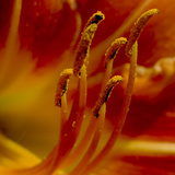 Close Up of Day Lily Stamens Covered in Pollen Photographie par Amy &amp; Al White &amp; Petteway