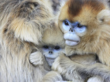 A Snub-Nosed Monkey Family Huddles for Warmth in Freezing Temperatures Fotografiskt tryck av Cyril Ruoso