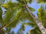 Palm Trees, Punta Cana, Dominican Republic, West Indies, Caribbean, Central America Photographie par Frank Fell