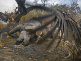 Vultures Scavenge a Female Rhino That Was Killed By a Pair of Tigers Photographic Print by Steve Raymer