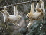 Juvenile Male Snub-Nosed Monkeys Play-Wrestle Photographic Print by Cyril Ruoso