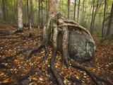 Michael Melford - The Roots of a Yellow Birch Tree Wrap Around a Boulder - Fotografik Baskı