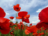 A Field of Red Poppies in Bloom under a Cloud-Filled Sky 写真プリント : エイミー&アル・ホワイト&ペッタウェイ