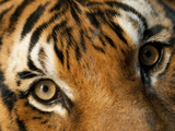 Indochinese Tiger at Omaha's Henry Doorly Zoo Photographic Print by Joel Sartore