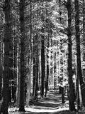 Høje fyrretræer langs en skovsti Fotografisk tryk af Amy & Al White & Petteway