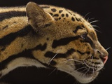 A Captive Clouded Leopard Photographic Print by Vincent J. Musi