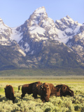 Bison, Bison Bison, Grazing at Base of Grand Teton Mountain Photographic Print by Robbie George