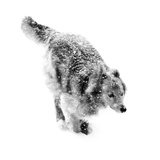 Portrait of a Dog Running Through a Snow Storm Photographic Print by Amy & Al White & Petteway