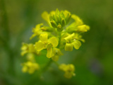 Close Up of Wild Mustard Flowers, Brassica Kaber Photographic Print by Amy & Al White & Petteway