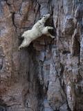 Kozica górska wspinajaca się po skalnej ścianie aby zlizać z niej solny naciek Reprodukcja zdjęcia autor Joel Sartore