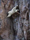 A mountain goat descends a sheer rock wall to lick exposed salt. Photographic Print by Joel Sartore