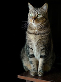 Portrait of a Pet Tabby Cat with Green Eyes Photographic Print by Amy & Al White & Petteway