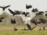 A Whooping Crane Scatters Black-Bellied Whistling-Ducks Photographic Print by Klaus Nigge