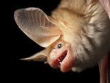 A Pallid Bat at the North Carolina Zoo Photographic Print by Joel Sartore