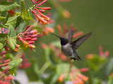 A Hummingbird Sipping Nectar from Honeysuckle Flowers Papier Photo par Robbie George