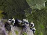 White-Headed Langurs Looking over the Edge of a Boulder Photographic Print by Jed Weingarten/National Geographic My Shot