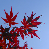 Japanese Maple Leaves, Acer Palmatum, Against a Blue Sky Photographic Print by Amy & Al White & Petteway