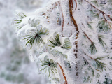 Ice, Snow and Rime Ice on Pine Tree Branches Photographic Print by Amy & Al White & Petteway